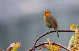 Oiseaux qui chantent