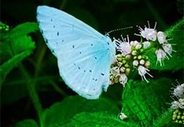 Le message du papillon bleu